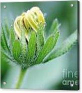 Cone Flower Rubeckia Hirta  Acrylic Print