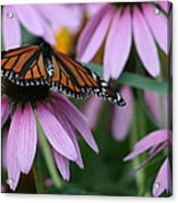 Cone Flowers And Monarch Butterfly Acrylic Print