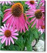 Cone Flowers In Bloom Acrylic Print