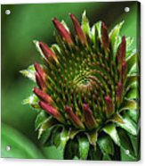 Coneflower Close-up Acrylic Print