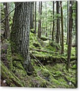 Coniferous Forest, Inside Passage Acrylic Print