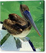 Cool Footed Pelican Acrylic Print