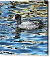 Coot In The Lake Acrylic Print