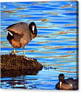 Coots Acrylic Print by Catherine Natalia  Roche