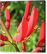 Coral Bean Tree Acrylic Print
