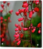 Coral Bells Acrylic Print