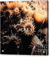 Coral Feeding 5 Acrylic Print