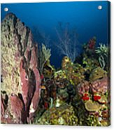 Coral Reef And Sponges, Belize Acrylic Print