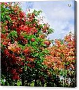 Coral Shower Trees Acrylic Print