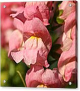 Coral Snapdragons Acrylic Print