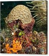 Coral Top Knot Acrylic Print