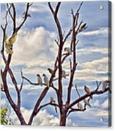 Corella Tree Acrylic Print