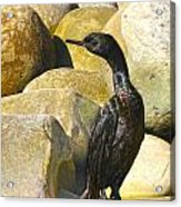 Cormorant 1 Acrylic Print