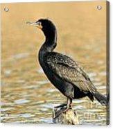 Cormorant At Sunset Acrylic Print