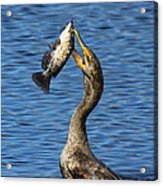 Cormorant Catches Catfish Acrylic Print