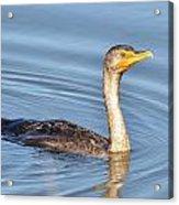 Cormorant Fishing Acrylic Print