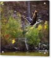 Cormorant Flight Series - 2 Acrylic Print