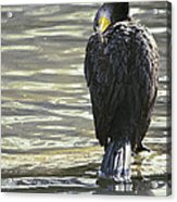 Cormorant Portrait In Shallow Water Acrylic Print