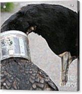 Cormorant With Radio Collar Acrylic Print