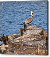 Cormorants And Pelican Acrylic Print
