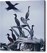 Cormorants Fly Above Driftwood, Grey Acrylic Print by Leanna Rathkelly