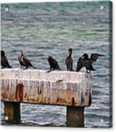 Cormorants Key West Acrylic Print