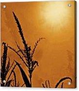 Corn Field Haze  Acrylic Print