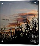 Corn Field With Orange Clouds Acrylic Print