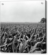 Corn Flakes On The Stem Acrylic Print by Jan W Faul