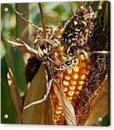 Corn Harvest 1 Acrylic Print