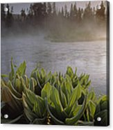 Corn Lilies Near Crescent Creek, Oregon Acrylic Print
