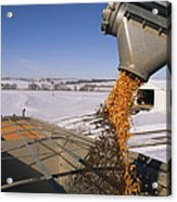 Corn Pours From An Auger Into A Grain Acrylic Print by Joel Sartore