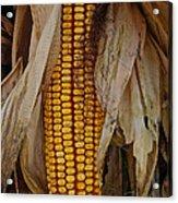 Corn Stalks Acrylic Print