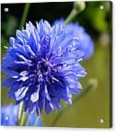 Cornflower Blue Acrylic Print by Sharon Lisa Clarke