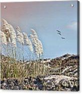Coronado Island Pampas Grass Acrylic Print