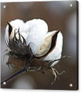 Cotton - Southern Gold Acrylic Print