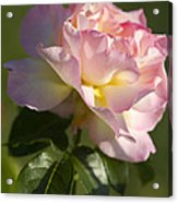 Cotton Candy Pink Peace Rose Acrylic Print