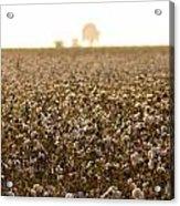 Cotton Field Donana Spain Acrylic Print