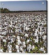 Cotton In Limestone County Acrylic Print
