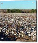 Cotton Landscape Protected 01 Acrylic Print