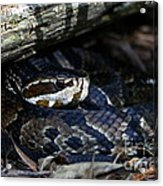 Cotton Mouth Hiding In Gum Swamp Acrylic Print