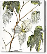 Cotton Plant, 1796 Acrylic Print