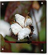 Cotton Pod 3 Acrylic Print