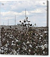Cotton Ready For Harvest In Alabama Acrylic Print