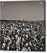 Cotton The Heart Of Dixie Acrylic Print