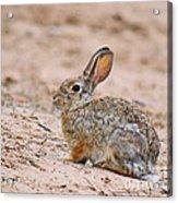 Cottontail Bunny Acrylic Print