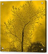 Cottonwood Tree April 2012 In Gold Acrylic Print