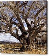 Cottonwood Tree At San Pedro House Acrylic Print