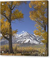 Cottonwood Trees Fall Foliage Carson Acrylic Print by Tim Fitzharris