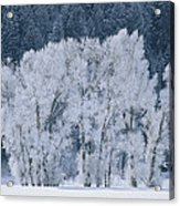 Cottonwood Trees With Frost Acrylic Print